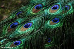 malachite-azurite-peacock